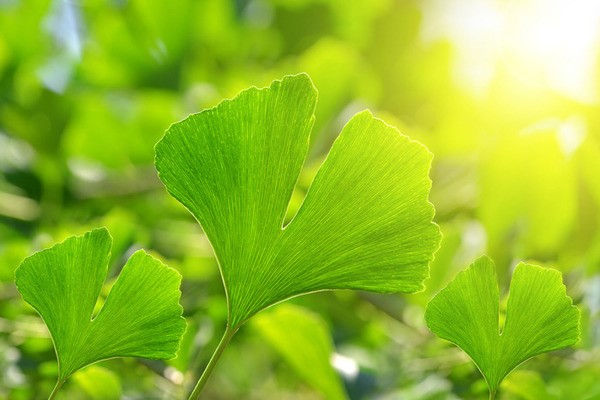 銀杏葉含有兩種主要活性抗氧化成份,有助保護腦細胞。